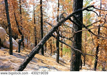 Burnt Pine Trees On A Charcoaled Landscape Caused From A Wildfire Taken At A Parched Forest In The A