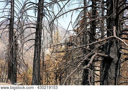 Charcoaled Pine Trees Caused From A Past Wildfire Taken At A Burnt Forest On A Parched Landscape In