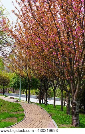 Picturesque Cobblestone Pathway Along Amazing Blooming Sakura Trees. Concept Of Landscape And Nature