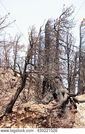 Burnt Pine Trees Caused From A Past Wildfire On A Charcoaled Mountain Ridge Taken At A Parched Lands