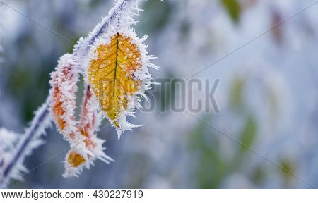 Frost-covered Yellow Leaves On A Tree Branch In The Garden