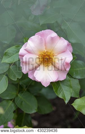 Wild Rose Bush With Light Pink Blossom. Dog Rose, Rosa Canina Light Pink Flowers In Bloom On Branche