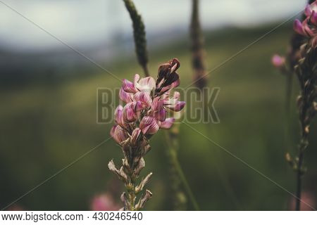 Onobrychis Viciifolia (also Known As O. Sativa Or Common Sainfoin).