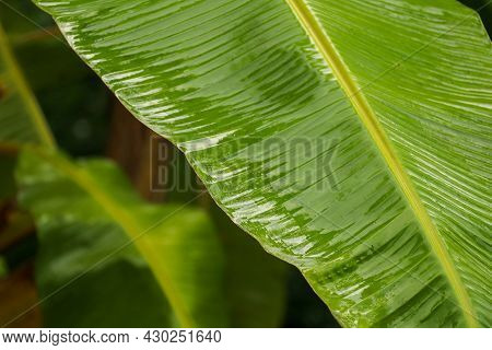 Green Banana Leaf In Nature, Banana Leaf After Rainy Day