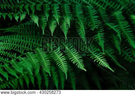 Natural Blurred Background Of Young Fern Leaves. Selective Focus