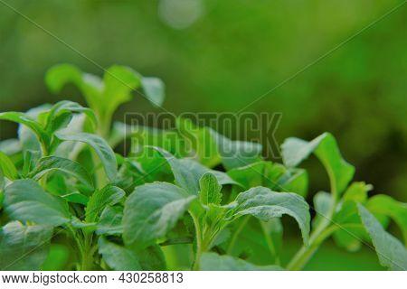 Stevia Rebaudiana On Blurred Green Background.stevia Plant. Vegetable Sweetener. Sweet Leaf Sugar Su