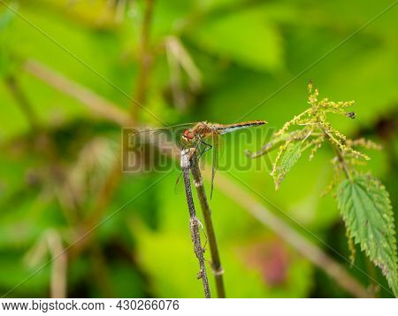 Dragonfly On A Branch Close-up On A Bokeh Background, Blurred Natural Background