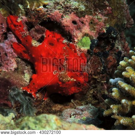 A Red Painted Frogfish Also Known As Antennarius Pictus Cebu Philippines