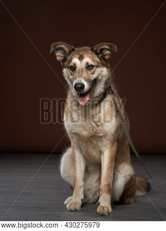 Mixed Breed Dog On Brown Background. Pet In The Photo Studio.