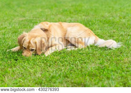 Golden Labrador Retriever Sniffs Something In The Grass In The Summer Sunny Day.outdoors.