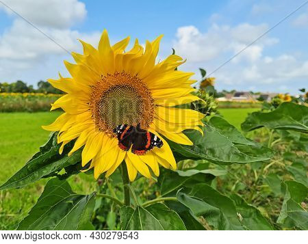 Blossoming sunflower with butterfly in the countryside from the Netherlands