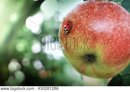 A Ladybug Crawls On An Apple, A Blurry Background With Bokeh. Red Ripe Apple On A Branch. Ladybug In