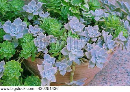 Succulents Plants In Pot Stand On The Steps At The Entrance To The House. Green Plants In House In S