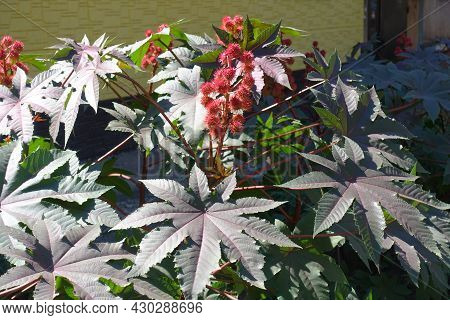 Castor Oil Plant With Purple Leaves And Spiny Seeds In Mid September