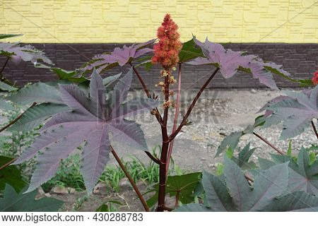 Flowers And Fruits Of Castor Oil Plant In Mid August