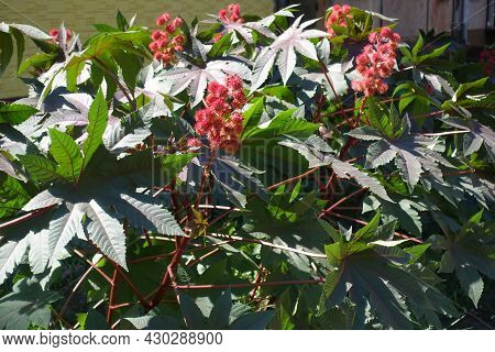 Foliage And Spiny Fruits Of Castor Oil Plants In Mid September