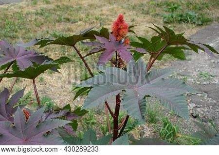 Purple And Green Leaves And Spiny Seeds Of Castor Oil Plant In Mid August