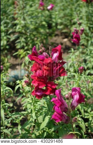 Bunch Of Red Flowers Of Common Snapdragon In June