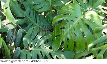 Exotic Monstera Jungle Rainforest Tropical Atmosphere. Fresh Juicy Frond Leaves, Amazon Dense Overgr