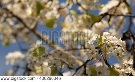 Spring White Blossom Of Cherry Tree, California, Usa, Balboa Park. Delicate Tender Sakura Flowers Of