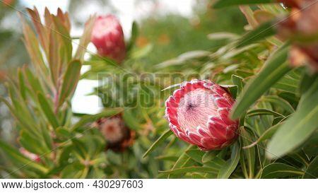 Protea Pink Flower In Garden, California Usa. Sugarbush Repens Springtime Bloom, Romantic Botanical
