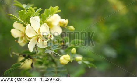Yellow Senna Flower In Garden, California Usa. Cassia Candlewood Springtime Pure Bloom, Romantic Bot