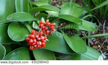 Red Berries In Forest, California Usa. Exotic Tropical Jungle Rainforest Botanical Atmosphere. Sprin
