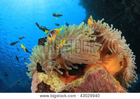 Anemonefish on coral reef with Clownfish and Damselfish