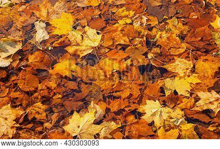 Autumn leaves on the ground. Fallen autumn maple leaves lying in the park, autumn leaves background, autumn leaves pattern, autumn leaves landscape, autumn leaves in sunny weather, autumn leaves closeup