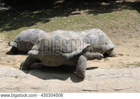 Prehistoric Reptile Galapados Giant Tortoise Prehistoric Reptile Galapados Giant Tortoise