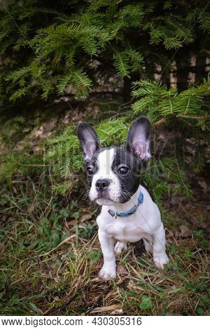 Photo Of Amazing Jung Boy French Buldog. He Is Sitting In The Nature.