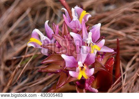 Close-up  Blooming Suthep Siamese Flowers Or Krachiao Suthep In Doi Suthep-pui National Park, Thaila