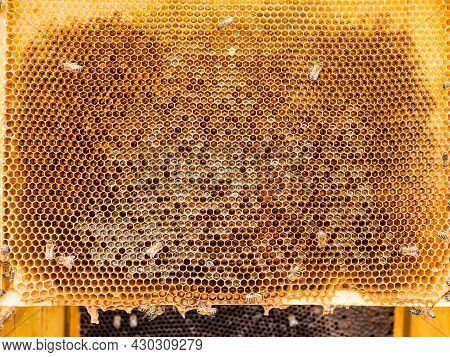 Honeycomb Filled With Honey Taken From The Hive By A Beekeeper