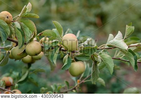 Harvesting Apples. Close-up And Selective Focus Of Hands Picking Ripe And Fresh Green Apple.
