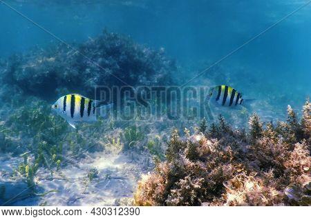 Sergeant Major Fish (abudefduf Saxatilis) Underwater Background