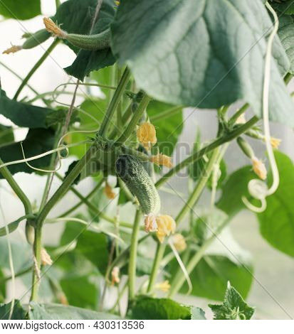 Fresh Green Cucumber Growing In Garden. Young Plant Cucumber With Yellow Flowers. Green Cucumbers Ha