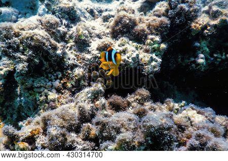 Red Sea Clownfish (amphiprion Bicinctus) Red Sea