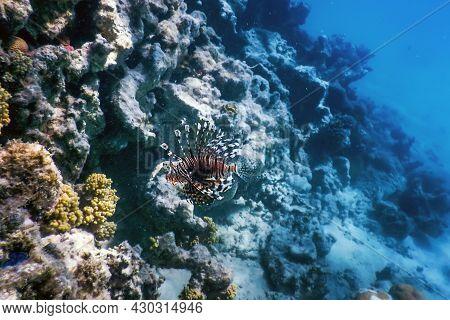 Lionfish Venomous Coral Reef Fish, Invasive Species (pterois Volitans) Tropical Waters