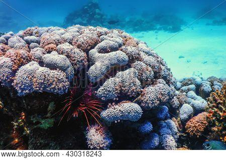 Hiding Lionfish Venomous Coral Reef Fish, Invasive Species (pterois Volitans) Tropical Waters, Marin