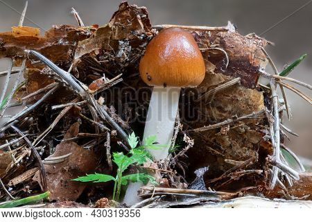 Close Up Of A Tawny Grisette Mushroom Between Pine Needles And Moss