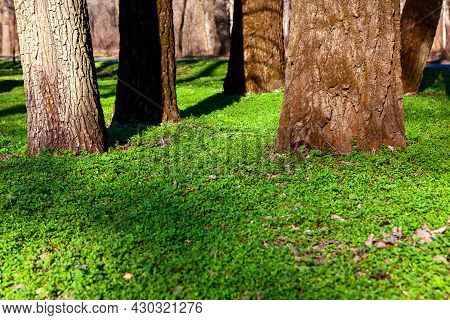 Tree Trunks With Green Grass . Park In The Spring