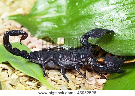 Black Emperor Scorpions (Pandinus imperator) in wildlife closeup poster