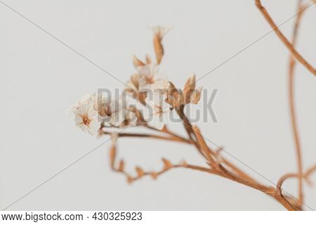 Spring backgrounf with dried white statice flower macro shot