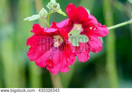 Many Delicate Pink Red Flowers Of Althaea Officinalis Plant, Commonly Known As Marsh-mallow In A Bri