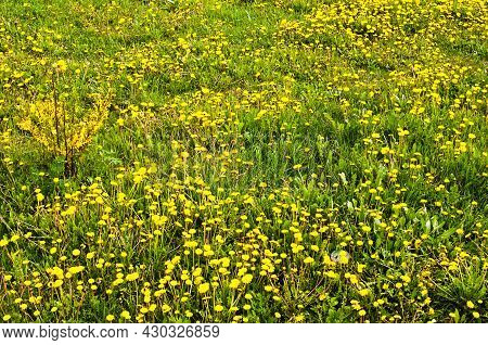 Close-up View Meadow With Many Yellow Flowers Of Dandelions. Scenic Nature Landscape. Blooming Dande