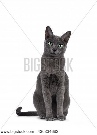 Young Silver Tipped Korat Cat, Sitting Up Facing Front. Looking Towards Camera With Bright Green Eye
