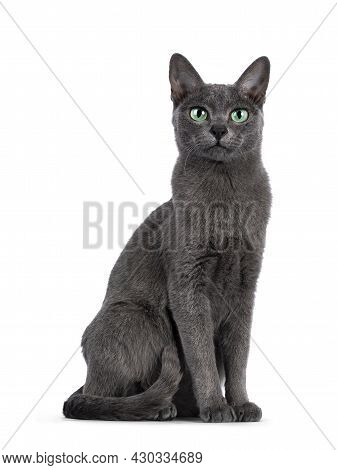 Young Silver Tipped Korat Cat, Sitting Up Like Statue. Looking Towards Camera With Bright Green Eyes