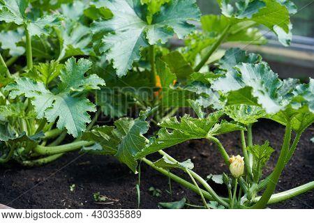 A Large Green Leaf Of Zucchini In The Greenhouse. A Leaf That Grows On A Zucchini Bush In A Greenhou