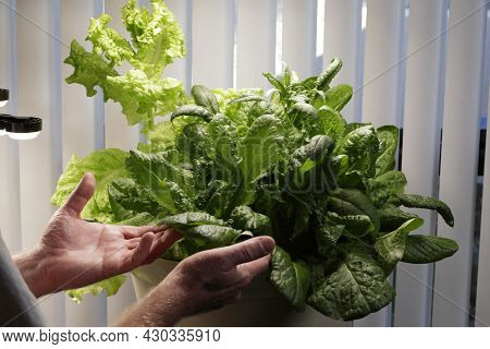 Indoor Homegrown Lettuce Variety Growing With Led Grow Lights In One Large Planter Of Dirt. Indoors