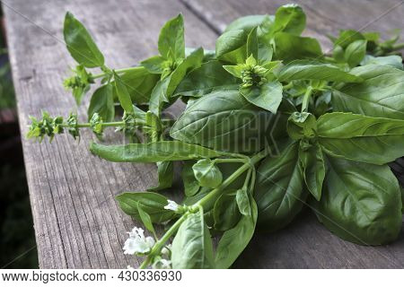 A Bunch Of Fresh Basil On A Wooden Table. The Concept Of Growing Herbs In Your Home Garden And Cooki